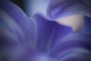 Blue Flowers Photos - Hyacinth by Bill  Wakeley