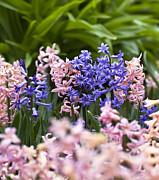 Hyacinth Garden Print by Frank Tschakert
