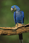 Hyacinth Macaw Prints - Hyacinth Macaw Brazil Print by Pete Oxford