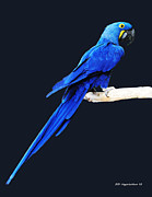 DiDi Higginbotham - Hyacinth Macaw Eight
