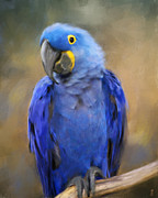 Hyacinth Macaw Prints - Hyacinth Macaw  Print by Jai Johnson