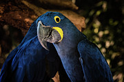 Talking Photo Framed Prints - Hyacinth Macaw Framed Print by Joan Carroll