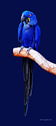 DiDi Higginbotham - Hyacinth Macaw Seven