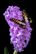 Garry Gay - Hyacinth with butterfly