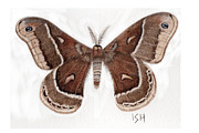 Inger Hutton Art - Hyalophora cecropia/gloveri hybrid Moth by Inger Hutton