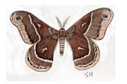 Hyalophora Cecropia/gloveri Hybrid Moth Print by Inger Hutton