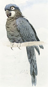 Watercolor On Paper Posters - Hyancinth Macaw Poster by Henry Stacey Marks