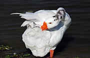 Hybrid Goose Grooming After A Swim Print by Susan Wiedmann