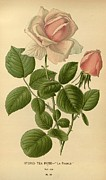 Flora Drawings Prints - Hybrid Tea Rose La France Print by Unknown
