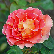 Peach Roses Photos - Hybrid Tea Rose  by Lisa  Phillips
