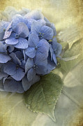 Blue Petals Photos - Hydrangea 2 by Angie Vogel