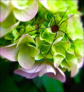 Harvestmen Posters - Hydrangea and the Harvestman Poster by Tracy Male