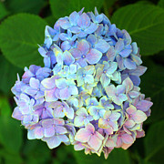 Carolyn Stagger Cokley Art - Hydrangea Blue by Carolyn Stagger Cokley