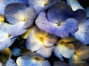 Donna Blackhall Framed Prints - Hydrangea Blue Framed Print by Donna Blackhall