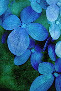 Christine Annas Posters - Hydrangea Blues Poster by Christine Annas