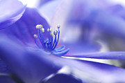 Blue Petals Photos - Hydrangea closeup by Sharon  Talson