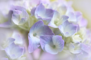 Purple Hydrangeas Framed Prints - Hydrangea Floral Macro Framed Print by Jennie Marie Schell