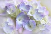 Hydrangea Floral Macro Print by Jennie Marie Schell