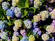 Michelle WiaHappy rda - Hydrangea Flowers on The...