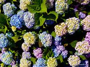 Michelle Wiarda - Hydrangea Flowers on The Cape