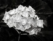 Marion McCristall - Hydrangea