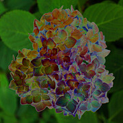 Carolyn Stagger Cokley Art - Hydrangea Solorized by Carolyn Stagger Cokley
