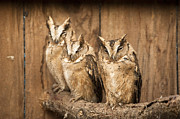Owl Metal Prints - I Am Almost Awake Metal Print by Anne Gilbert