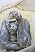 Gorilla Drawings - I am in Big Trouble by Jill Parry