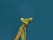 Praying Mantis Photos - I am watching you by Tessa Fairey