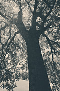 Oak Trees Prints - I Cant Describe Print by Laurie Search