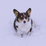 Corgi Dog Portrait Posters - I Do Not Like Snow Poster by Mike McGlothlen