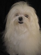 Toy Maltese Photos - I dont like topknots by Margaret Newcomb