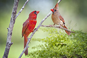 Northern Cardinal Prints - I Have Eyes Only for You Print by Bonnie Barry