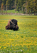 Bison Photo Metal Prints - I have my EYE on you lady Metal Print by Carolyn Rauh