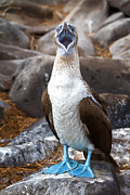 Blue-footed Booby Framed Prints - I love boobies Framed Print by Todd Bielby