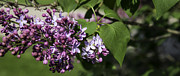 Thomas Young - I Love Lilacs