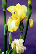 I Only Have Iris For You Print by Kathy  White