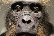 Ape Photo Originals - I see you by Bill Holton