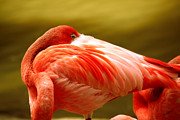 Flamingos Photos - I See You by Cheryl Young