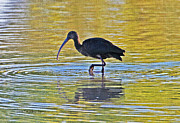 Tom Janca - Ibis At Gilbert Riparian...