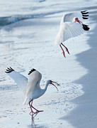 F Lee Photography - Ibis Dance 2