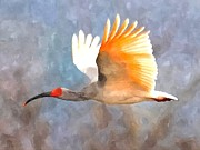 Ibis Digital Art - Ibis in flight by John Samsen
