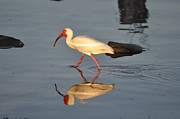 Ibis Digital Art - Ibis in Reflection by Bill Cannon
