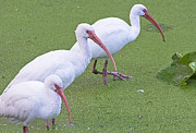 Water Line Photos - Ibis Line by Kenneth Albin