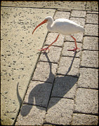 Walkway Digital Art - Ibis by Marsha Charlebois