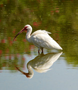 Sheila Price - Ibis Mirror Reflection