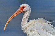 Waterfowl Framed Prints - Ibis Ruffled Framed Print by Deborah Benoit