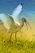 Waterfowl Framed Prints - Ibis Talking Framed Print by Deborah Benoit