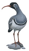Ibis Drawings Metal Prints - Ibisbill Metal Print by Anonymous