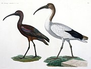 Bird Species Prints - Ibises Print by Jules Cesar Savigny